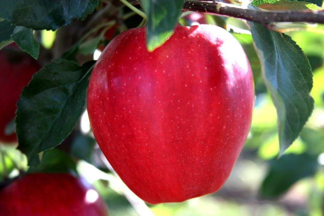 Crimson ® Gala (Alvina cv.  USPP 19,604)