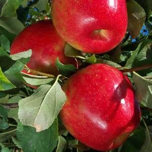 Firestorm™ Honeycrisp (BAB 2000 cv.)
