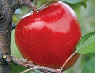 Kumeu Crimson Braeburn® (AMG 1016)