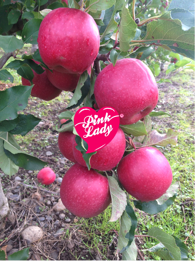 Pink Lady ® Cripps Pink