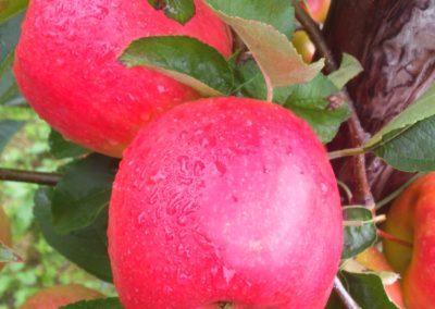 Pink Lady® Barnsby (PLBARB1 (Barnsby) cv USPP #21,606)
