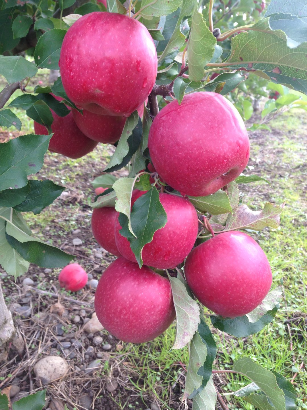 Pink Lady® Cripps Pink (Cripps Pink cv. (Improved Selection))