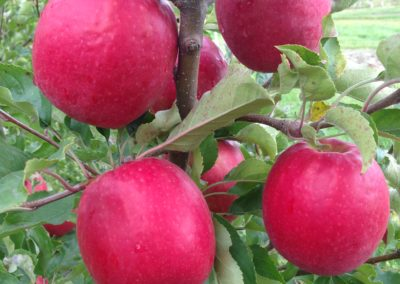 Pink Lady® Ruby Pink (Ruby Pink cv USPP #16,725)