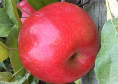 Roseland Red™ Honeycrisp (Simmons cv., PPAF)